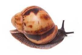 Улитка-архахатина - Archachatina marginata marginata