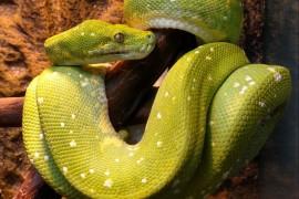Зеленый древесный питон - Morelia viridis, локалитет Biak (male, 2012) - арт.: SE-218