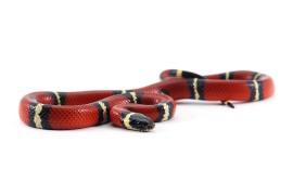 Синалойская молочная змея - Lampropeltis triangulum sinaloae