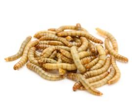 Мучной червь (Tenebrio molitor)