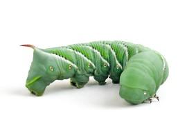 Гусеницы кормовые - Бражник табачный (Manduca sexta)