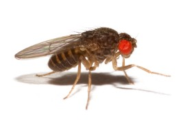 Муха нелетающая - Дрозофила хидея (Drosophila hydei)