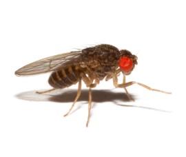 Муха нелетающая - Дрозофила хидея (Drosophila hydei)